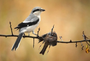 A Shrike Impales its Dinner